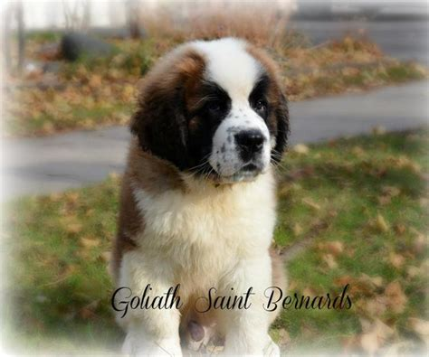 st bernard puppy for sale include your business name and location