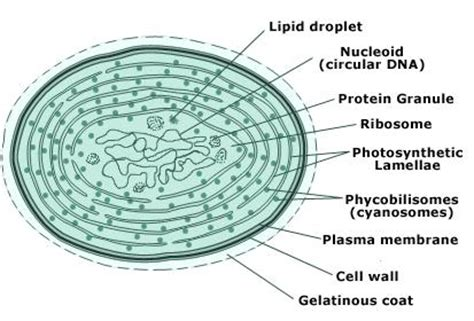 labelled diagram of chlorella 10 2 what are algae egee 439