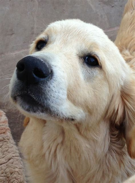 golden retriever 6 months golden retriever 6 month puppy for sale kidderminster worcestershire pets4homes
