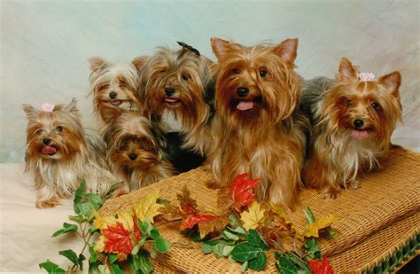different yorkie coats all list of different dogs breeds yorkie dogs small breeds