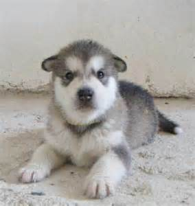 Moby the alaskan malamute from greece puppies daily puppy