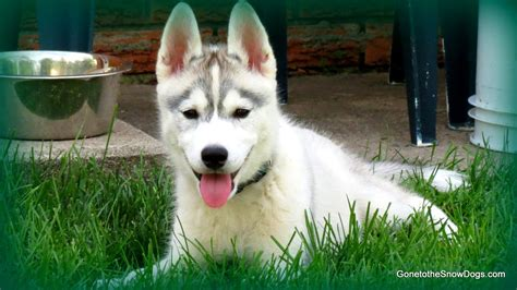 how to potty your how to potty your puppy easily potty your puppy siberian husky our