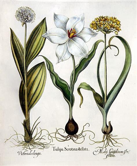 basilius beslers florilegium the 97 file basilius besler079 jpg wikimedia commons