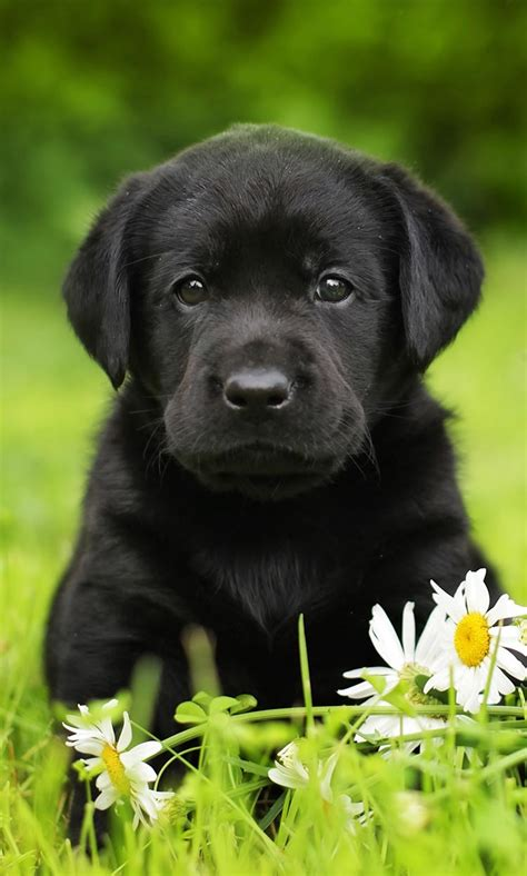 black retriever puppies black lab your guide to the black labrador retriever the labrador site