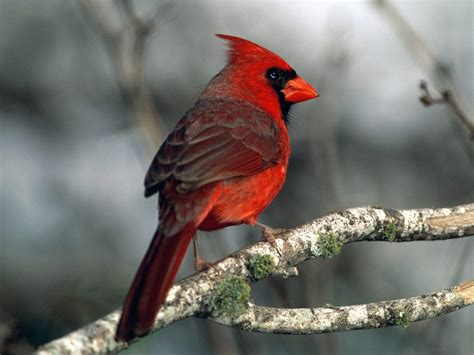red cardinal bird kingdom of bird