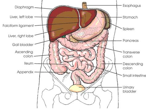 abdominal diagram 10 best images about anatomy on top websites