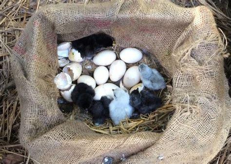 raising chickens for organic eggs in bali the kul kul farm