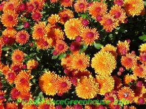 how to grow mums planting fertilizing pinching transplanting picket fence greenhouse gardens