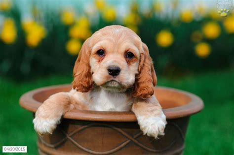 cocker spaniel puppies for sale in pa 1807 best puppy mills this is where your pet store puppy came from images on