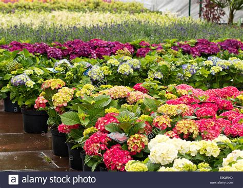 Flowers For Sale by Rows Of Flowers For Sale At A Retail Garden Center