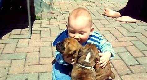 baby puppies for adoption baby boxer puppies for adoption 4k wallpapers