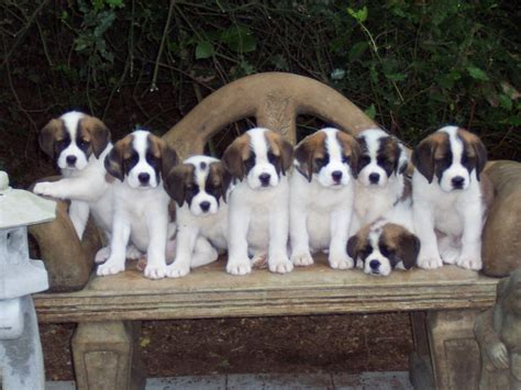 how much are st bernard puppies bernard pictures 24 free wallpaper dogbreedswallpapers