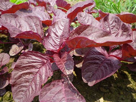 Bibit Bayam Panah Merah bayam merah 5gr purie garden