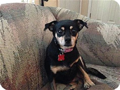mini pinscher pug mix adopted dublin oh miniature pinscher pug mix