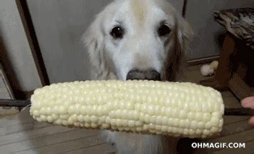 corn on the cob for dogs corn on the cob gifs and animated gifs