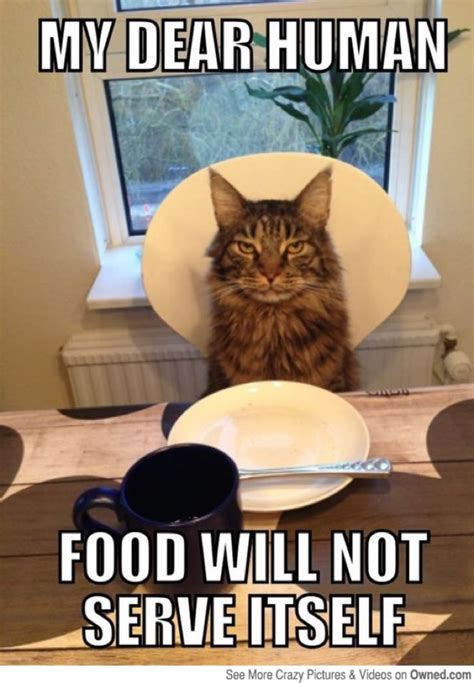 Cat Meme Pictures - my dear human cat memes