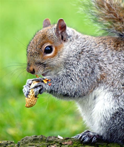 researcher traces history of american urban squirrel www