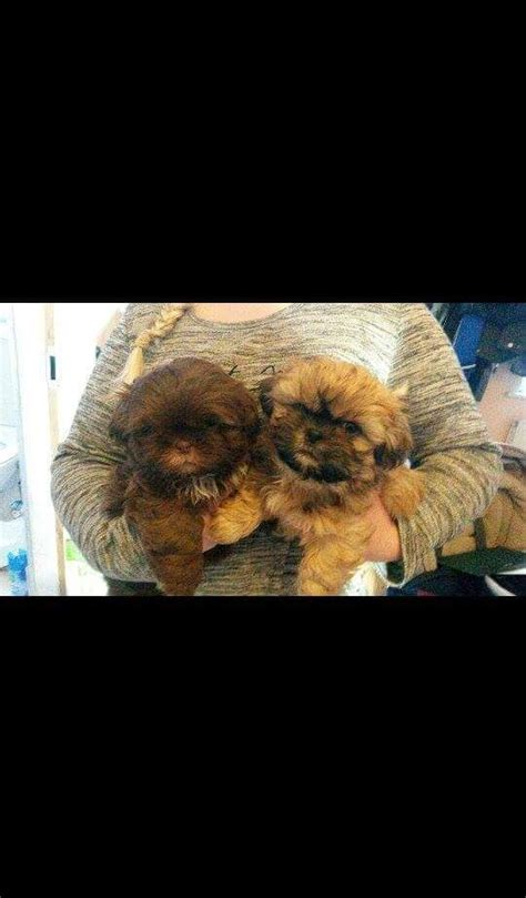 shih tzu puppies for sale in county durham beautiful shih tzu puppies for sale hartlepool county durham pets4homes