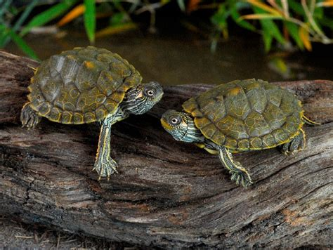 texas map turtles texas maps for sale from the turtle source