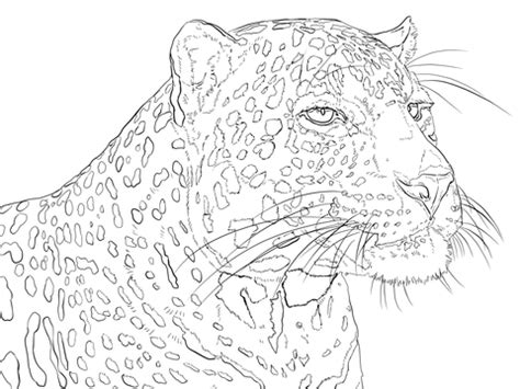 printable version of hills like white elephants portrait of indian leopard coloring page free printable
