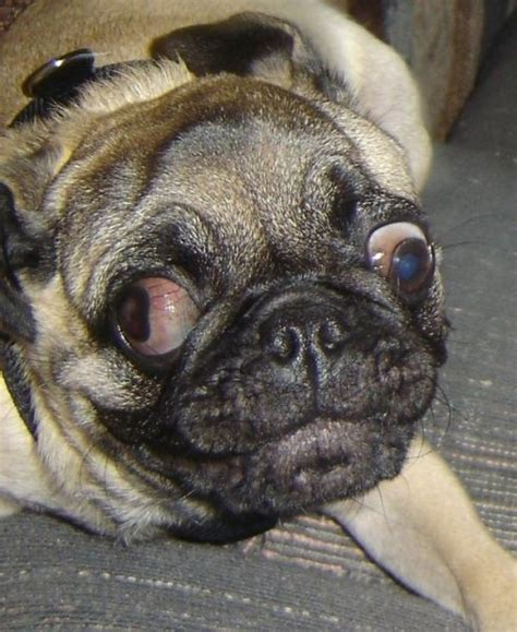 uggly pug pug