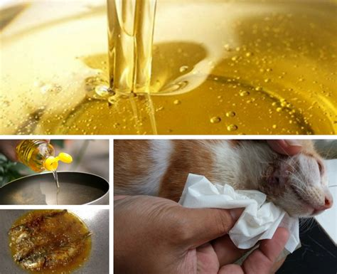 Minyak Ikan Untuk Kucing minyak lebihan menggoreng ikan jangan dibuang berguna rawat kucing berkurap keluarga