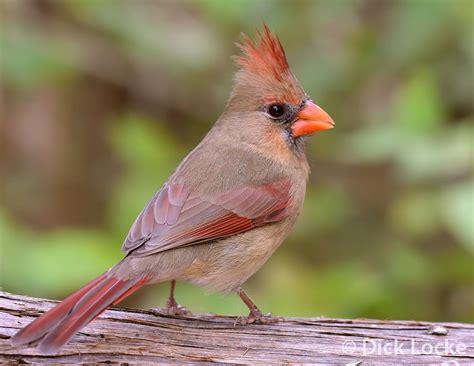 cardinal images cardinal pictures