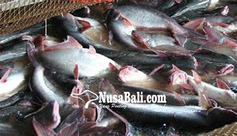 Bibit Ikan Nila Di Denpasar nusabali badung kembangkan budidaya ikan di lahan