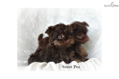 petfinder yorkie poo yorkie poos for adoption breeds picture