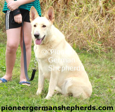 german shepherd puppies for sale in nj white german shepherd puppies for sale new jersey dogs our friends photo