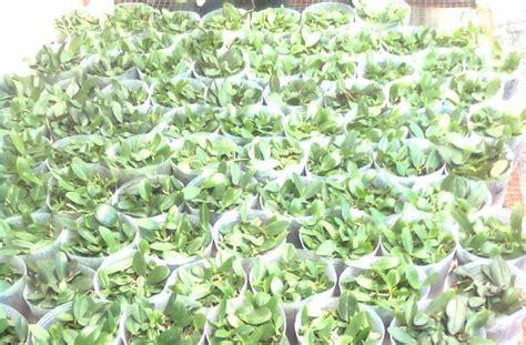 Bibit Anggrek Phalaenopsis sandi anggrek 1 bibit kompot anggrek phalaenopsis