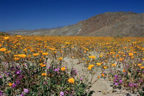 wildflowers anza borrego wildflowers in anza borrego desert state park flickr