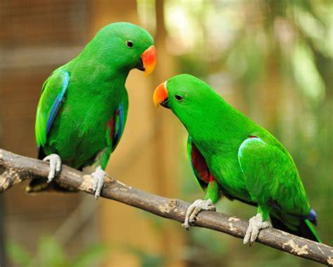 imagenes de loritos verdes loros todo acerca de la mejor ave de compa 241 237 a aves ex 243 ticas