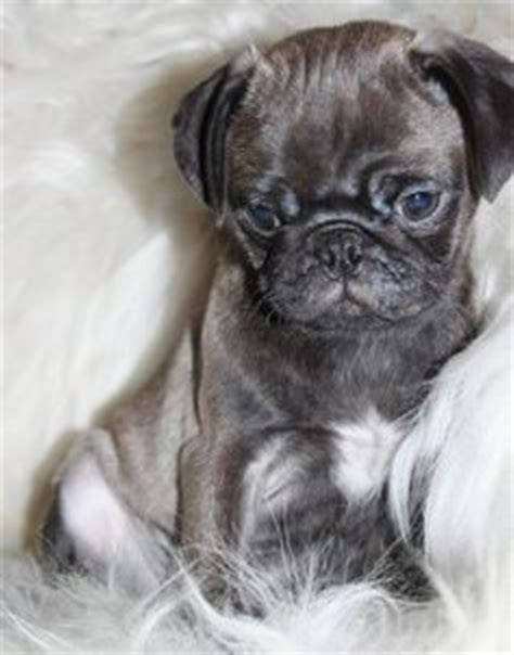 silver grey pugs for sale ooak reborn baby pug puppy newborn baby pugs pug puppies and reborn babies