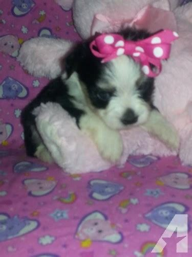puppies for sale in beaumont tx adorable maltipoo yorkiepoo and chorkie puppies for sale in beaumont classified