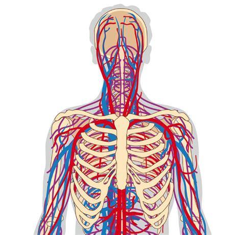 lunghezza vasi sanguigni vasi sanguigni che riforniscono doccheck pictures