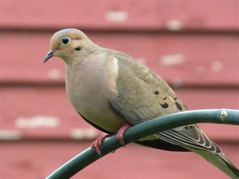 birds bugs and butterflies oh my mourning dove