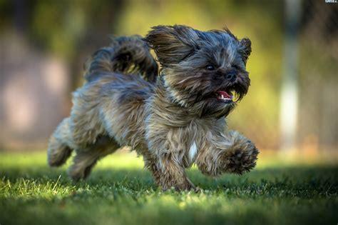 siberian shih tzu biegnący pies shih tzu