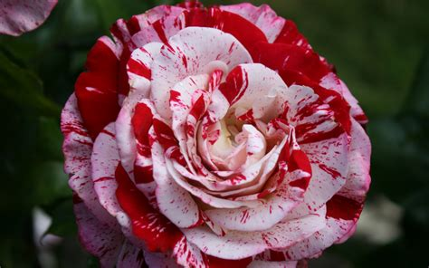 rose can 3 peppermint rose hd wallpapers backgrounds wallpaper
