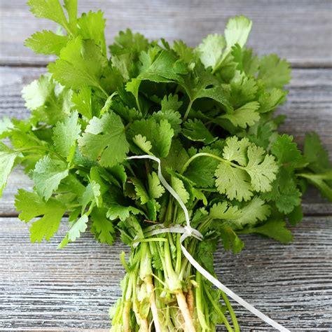 coriander cilantro long standing cilantro coriander organic seeds