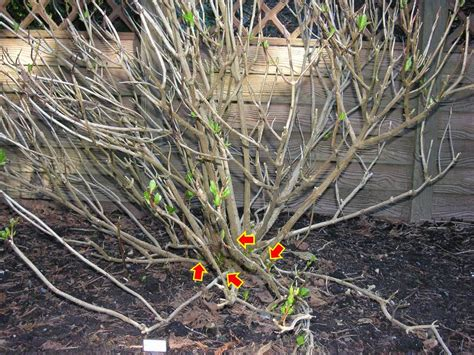 image gallery hydrangea pruning