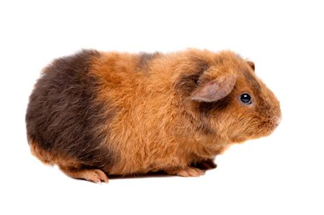opinions on guinea pig breed