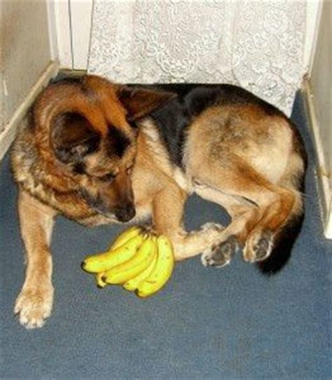 can dogs bananas can dogs eat bananas