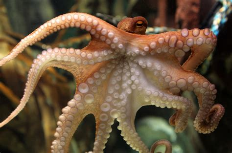 octopus l octopus inspires color changing camouflage tech nbc news