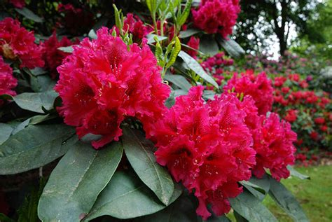 Blakc Reddish Flower S M L 44398 flowering rhododendrons