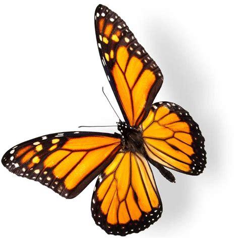 imagenes de mariposas monarcas image gallery mariposa monarca
