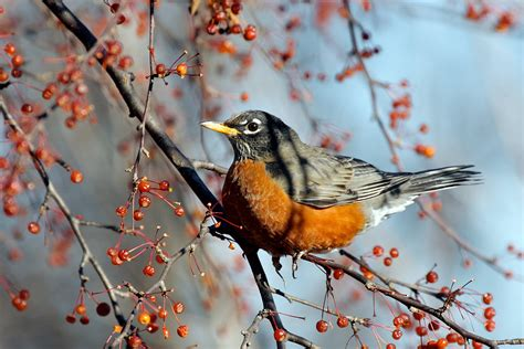 environmental almanac american robins harbingers of