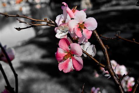 imágenes flores japonesas hanami bajo la flor de cerezo nihhon s blog