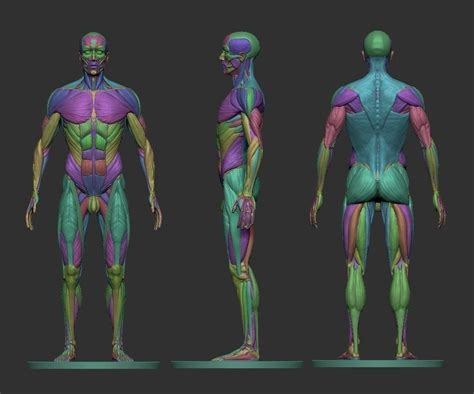 male ecorche human anatomy reference 3d model 3d male ecorche human anatomy reference 3d model 3d printable stl cgtrader com