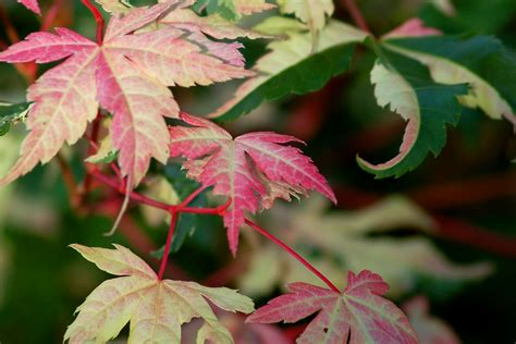 maple tree brown leaves brown leaves on japanese maple trees what s the cause